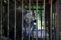 捕獲された猪